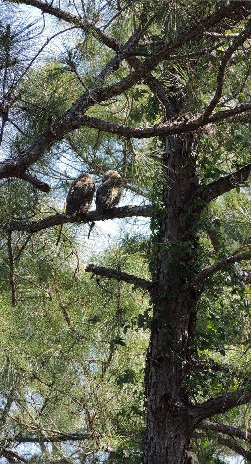 Owlets 1R
